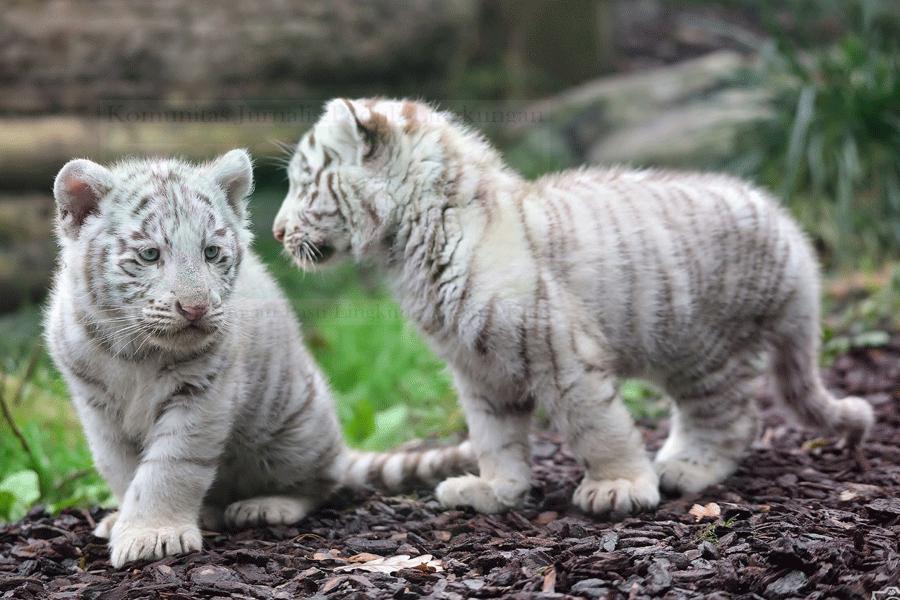 Dua Harimau Putih Lahir Di Kebun Binatang Bali