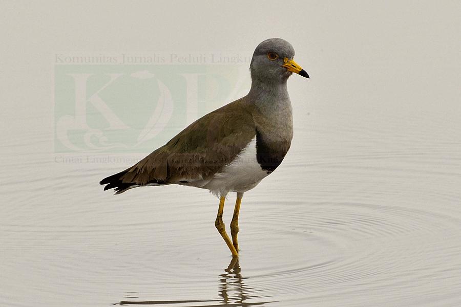 Burung Trulek Jawa Nyaris Punah