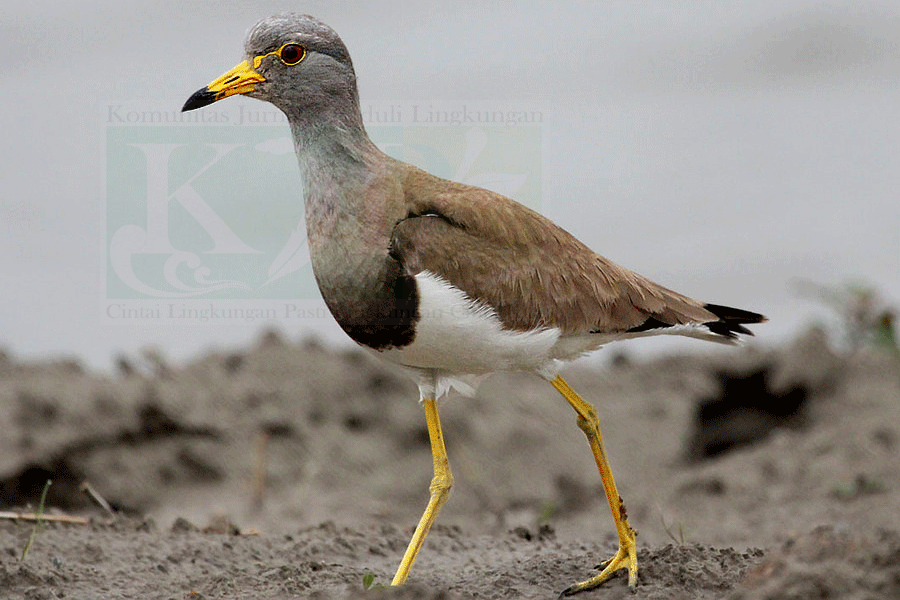 AWC-Komunitas Sarang Burung Surabaya Gelar Sensus Burung Air
