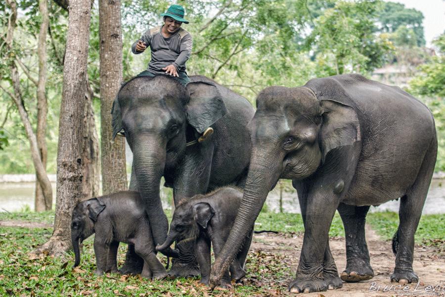 Lima Gajah Mati Akibat Diracun di Riau