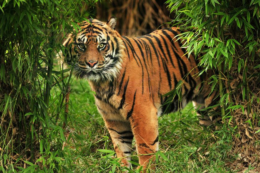 Dephut Kembalikan Harimau Penyerang Ke Habitat