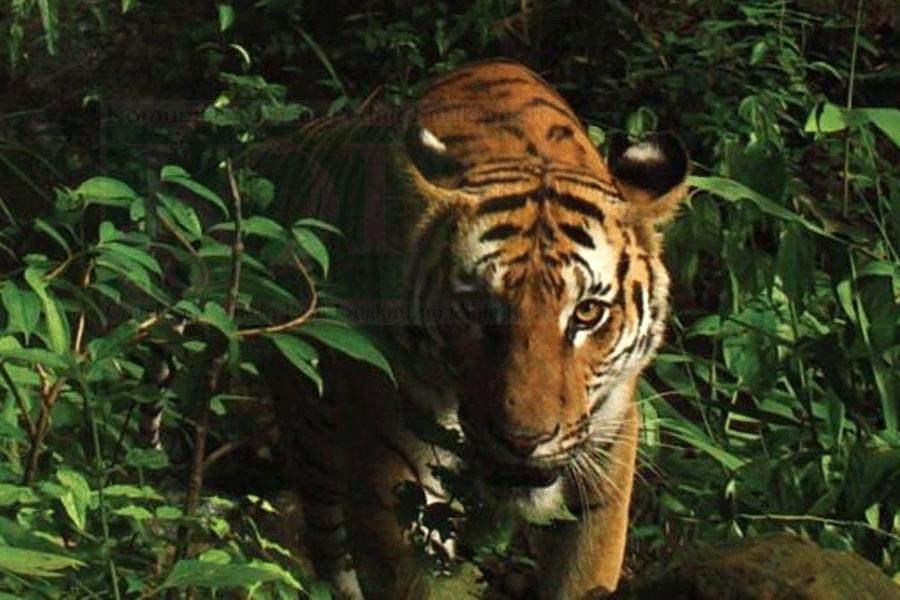BKSDA Akan Tangkap Harimau Merangin