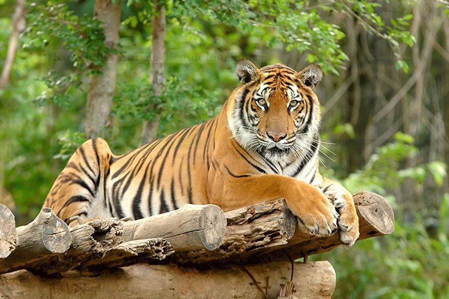 Perlu Ada Proses Hukum Terkait Pembunuhan Harimau