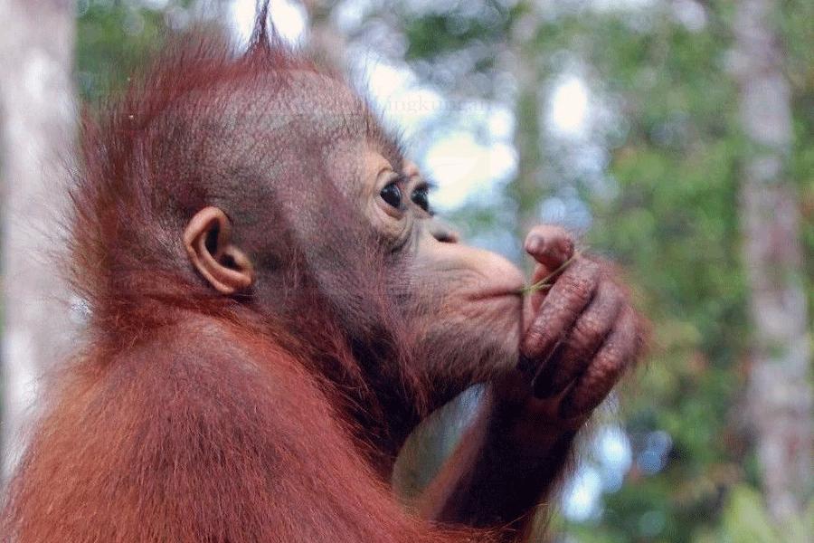 Konservasi Orangutan Solusi Perubahan Iklim