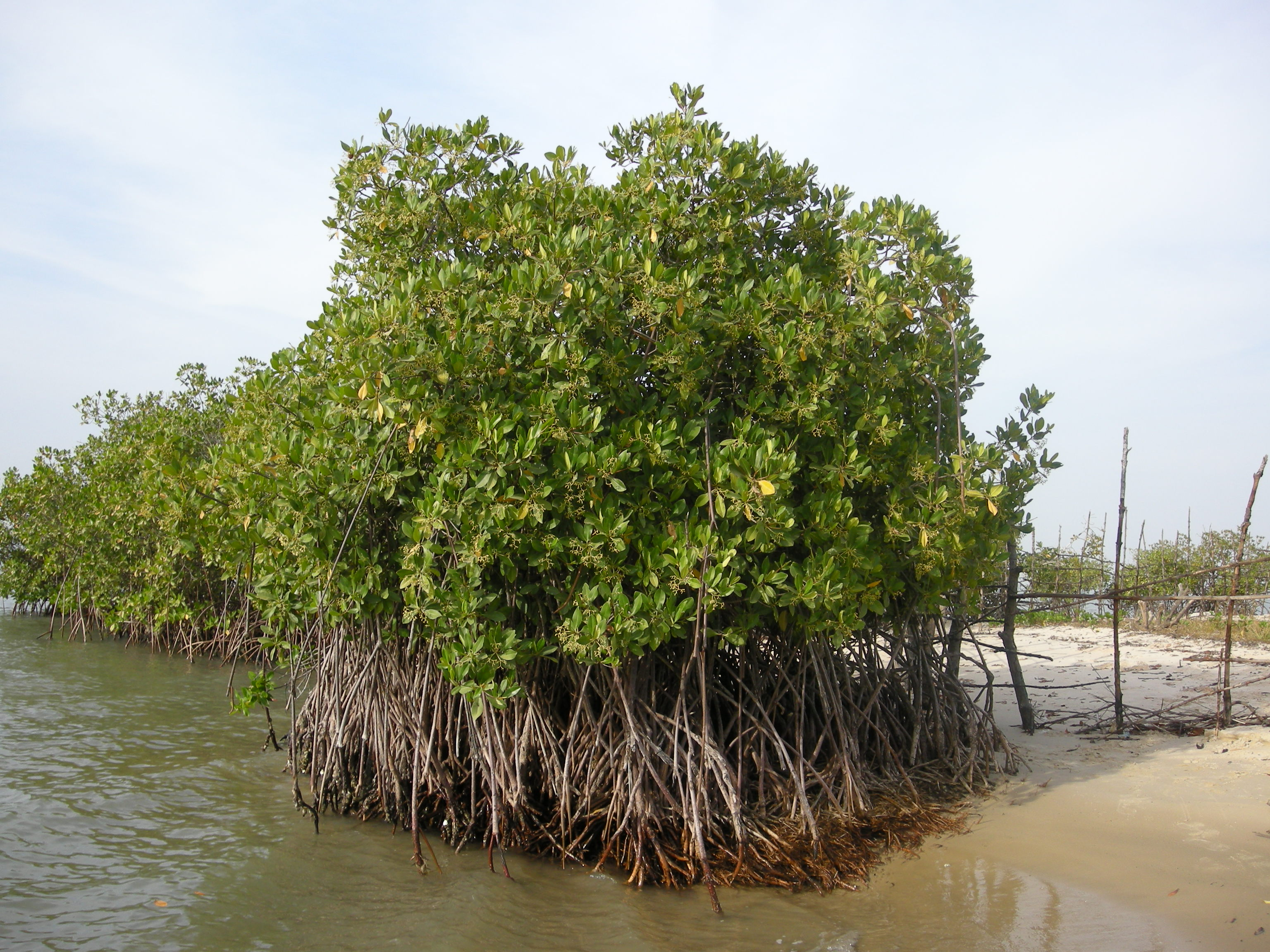 Mangrove Surabaya