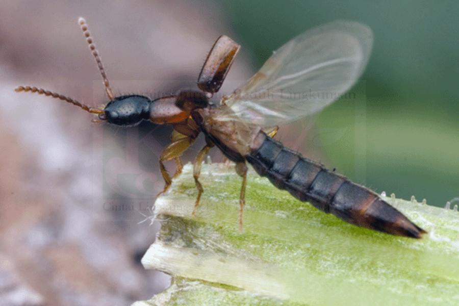 Waspadai Ledakan Serangga Selain Tomcat