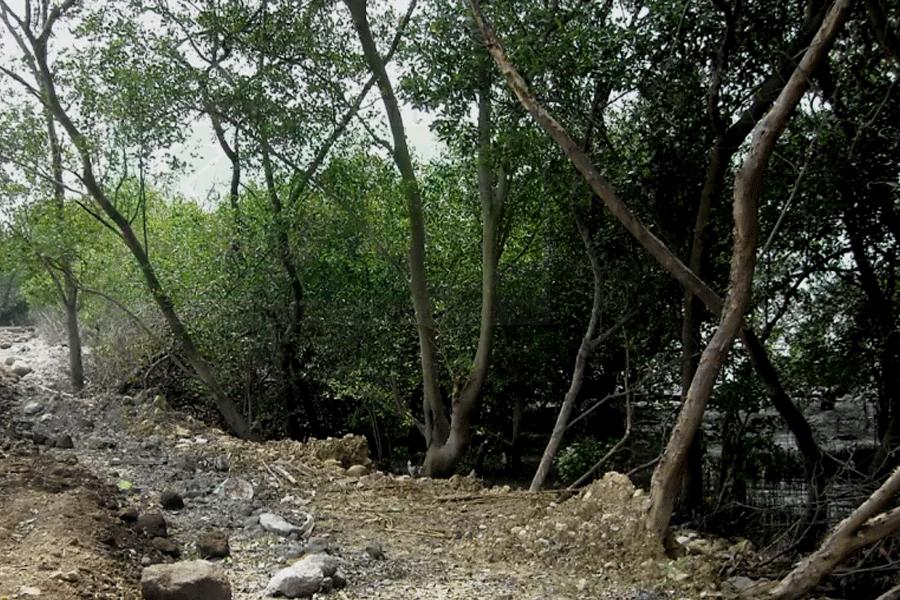 KJPL Beberkan Perusakan Mangrove Pesisir Surabaya