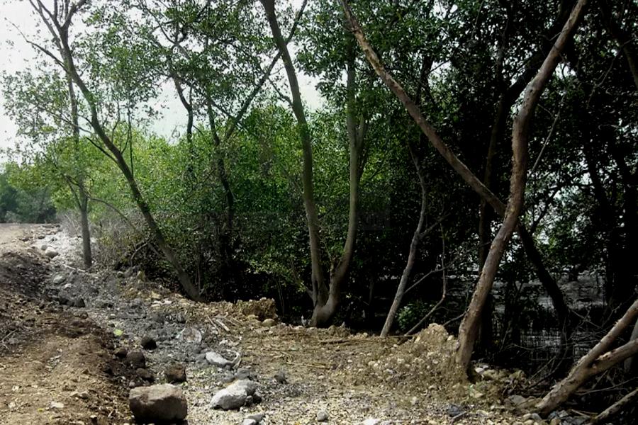 KJPL Kutuk Perusakan Hutan Mangrove Mulyorejo